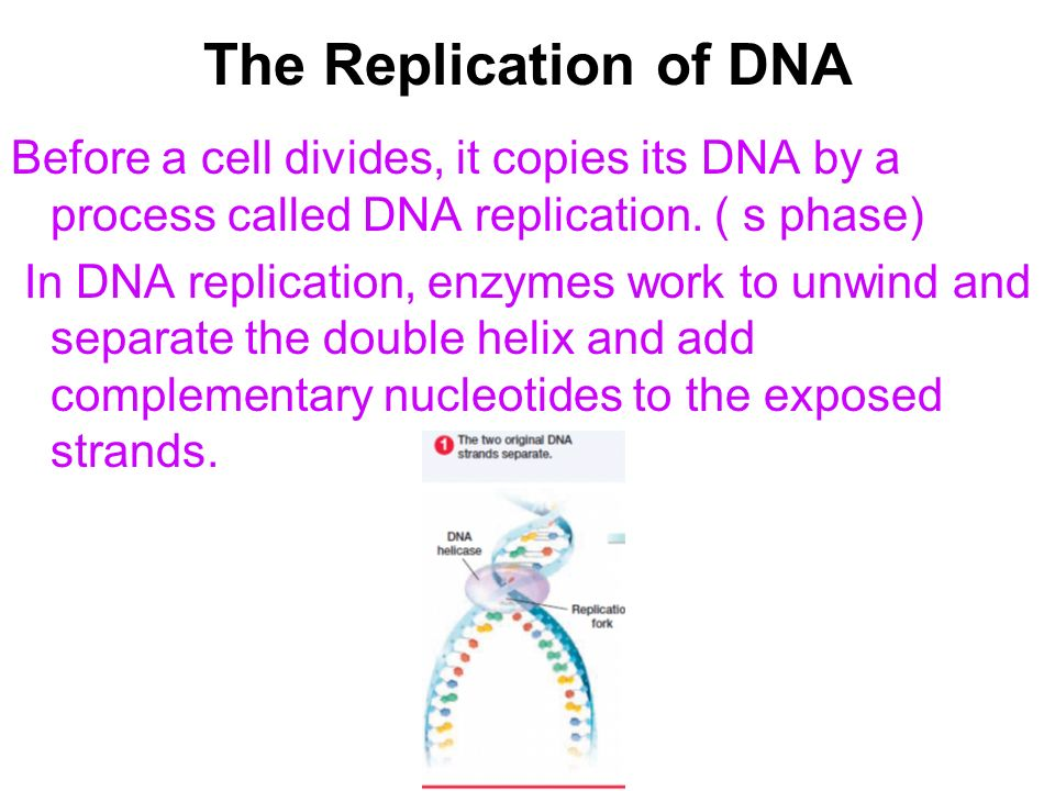 The Replication of DNA Before a cell divides, it copies its DNA by a process called DNA replication. ( s phase)