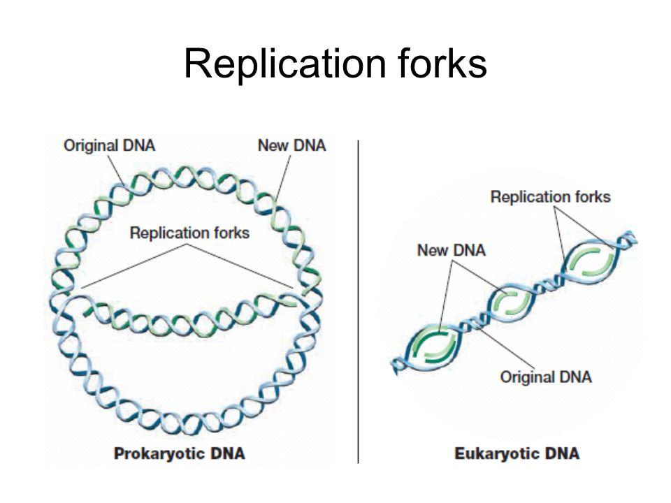 Replication forks