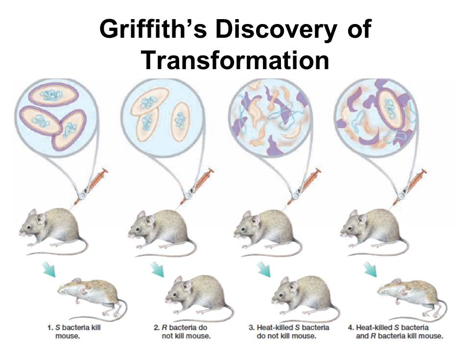 Griffith's Discovery of Transformation