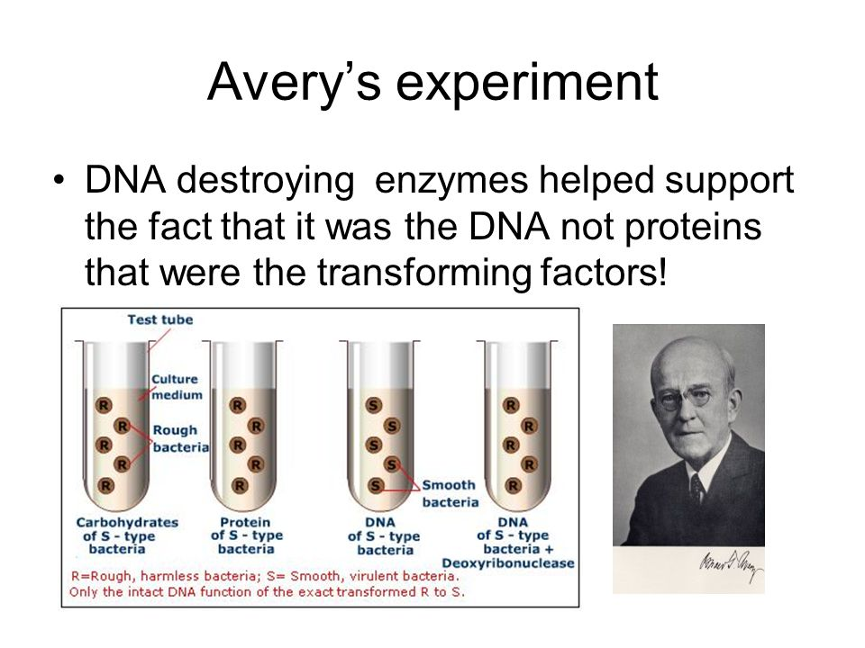 Avery's experiment DNA destroying enzymes helped support the fact that it was the DNA not proteins that were the transforming factors!