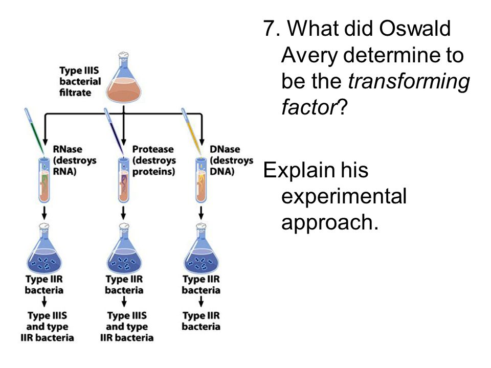 7. What did Oswald Avery determine to be the transforming factor
