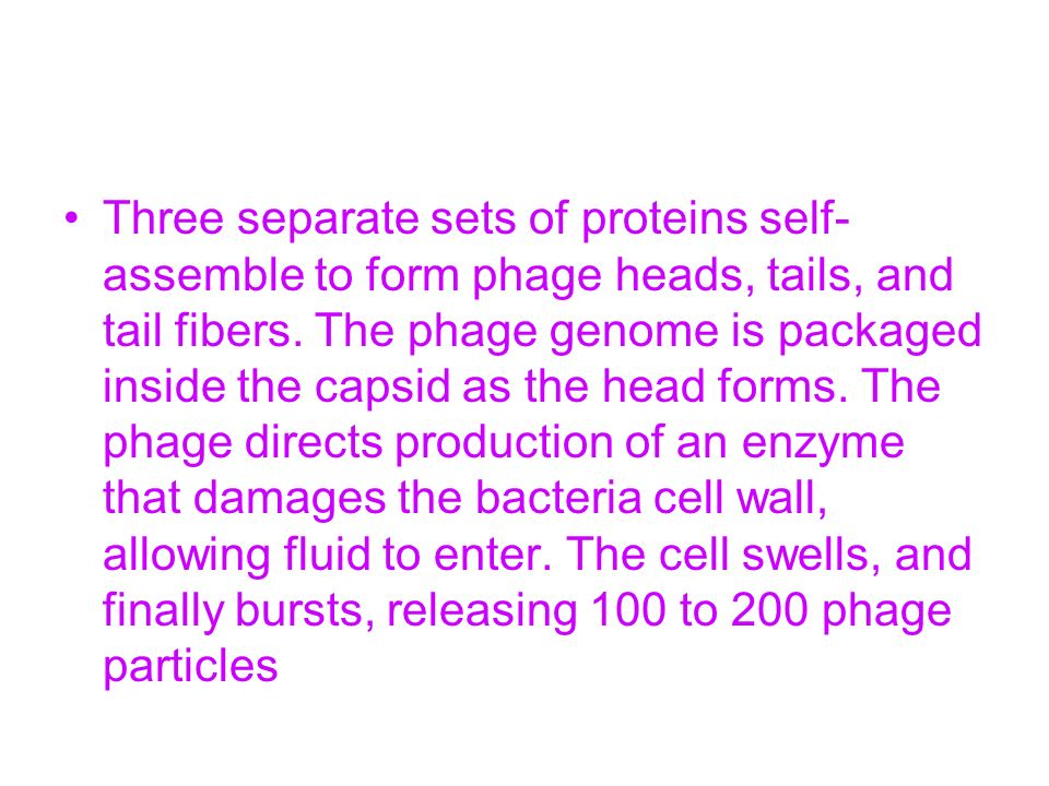 Three separate sets of proteins self-assemble to form phage heads, tails, and tail fibers.