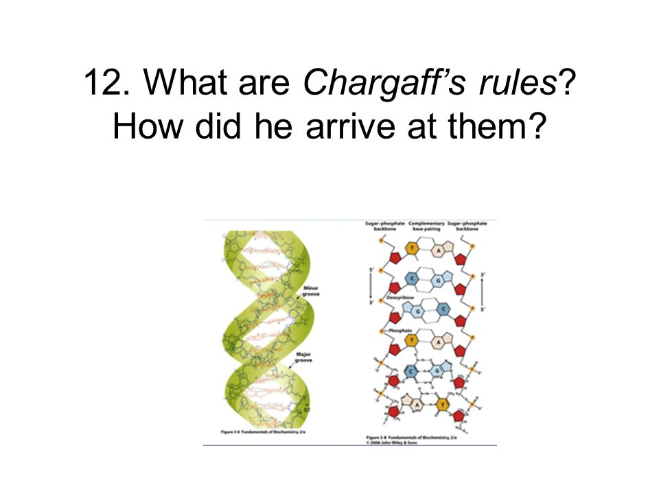 12. What are Chargaff's rules How did he arrive at them
