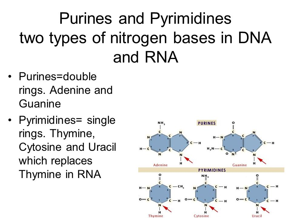 Purines and Pyrimidines two types of nitrogen bases in DNA and RNA