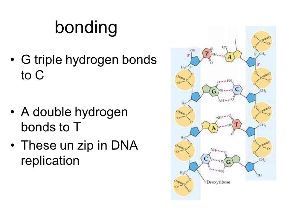 bonding G triple hydrogen bonds to C A double hydrogen bonds to T