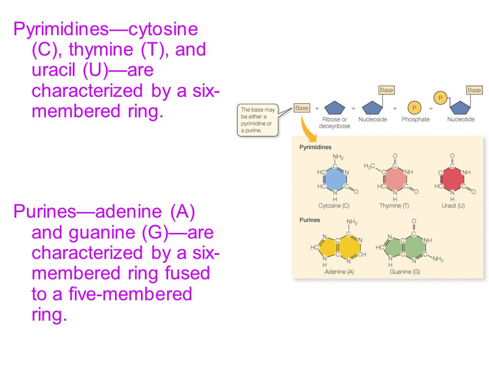 Pyrimidines—cytosine (C), thymine (T), and uracil (U)—are characterized by a six-membered ring.
