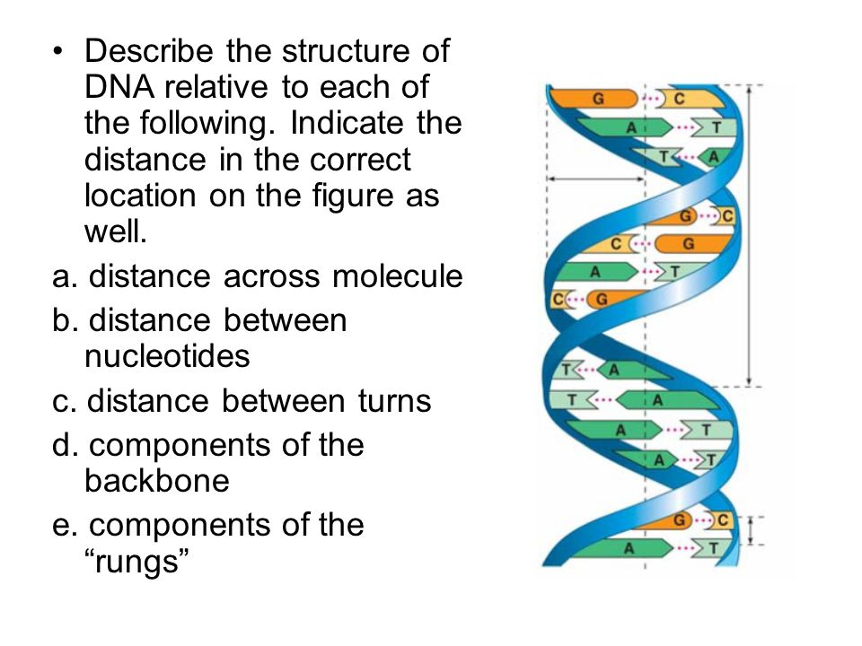 Describe the structure of DNA relative to each of the following