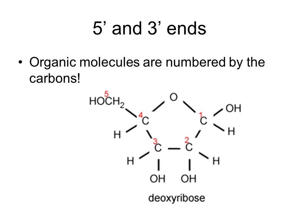 5' and 3' ends Organic molecules are numbered by the carbons!