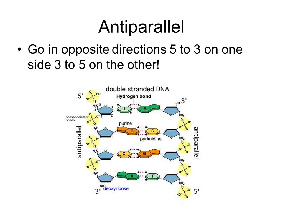 Antiparallel Go in opposite directions 5 to 3 on one side 3 to 5 on the other!