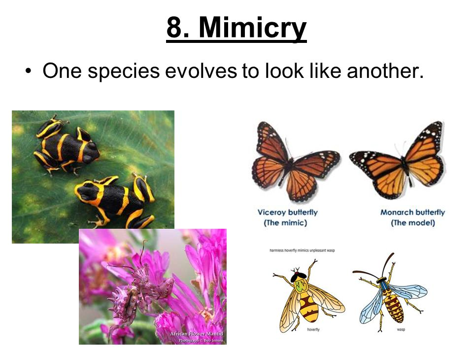 8. Mimicry One species evolves to look like another.