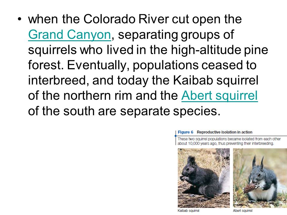 when the Colorado River cut open the Grand Canyon, separating groups of squirrels who lived in the high-altitude pine forest.