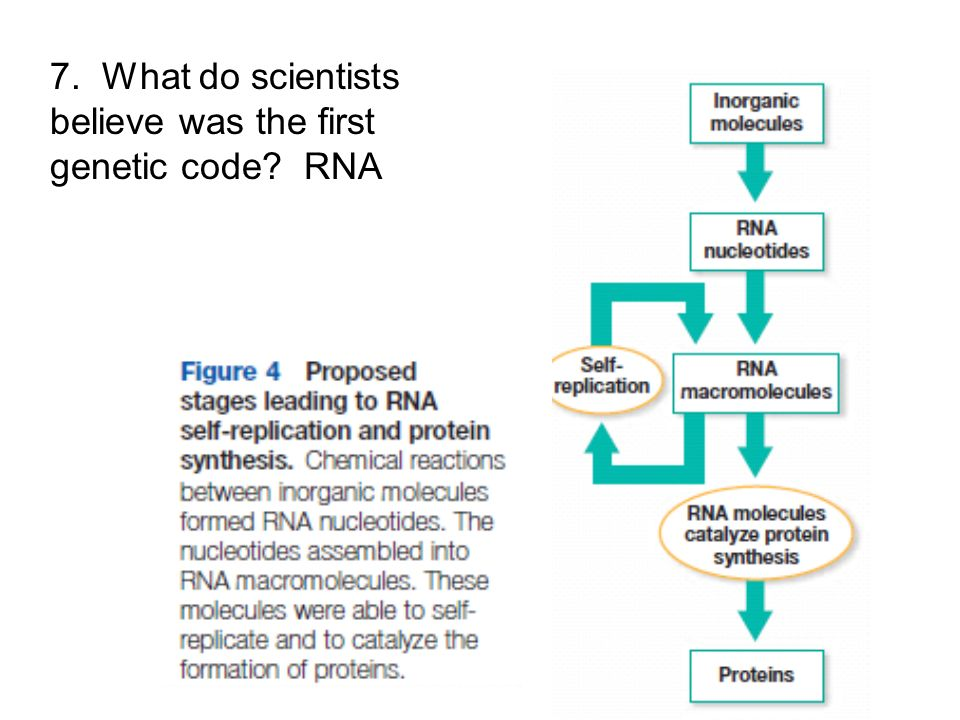 7. What do scientists believe was the first genetic code RNA