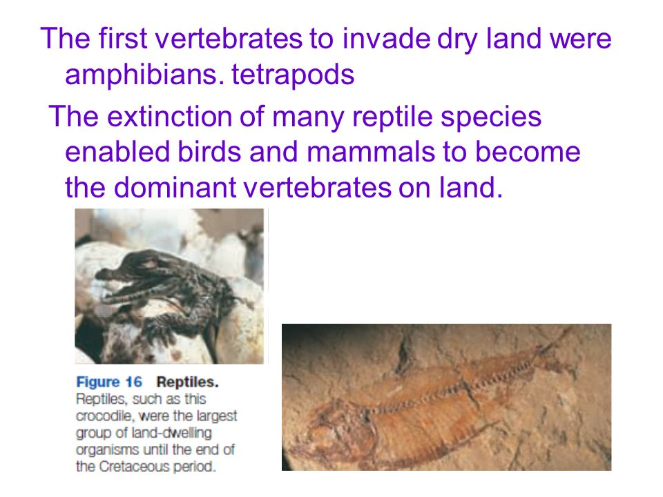 The first vertebrates to invade dry land were amphibians. tetrapods