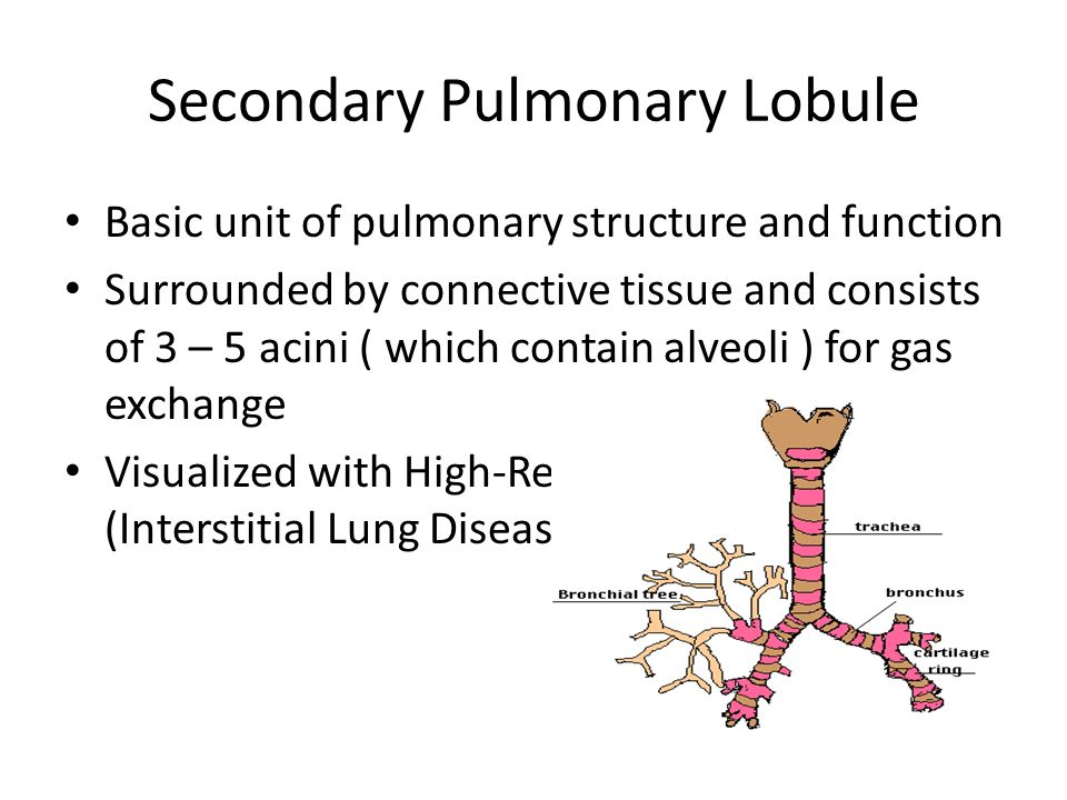 Pulmonary lobule anatomy