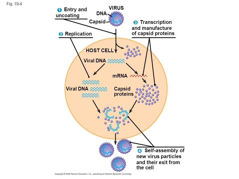 VIRUS Entry and uncoating DNA Capsid Transcription and manufacture