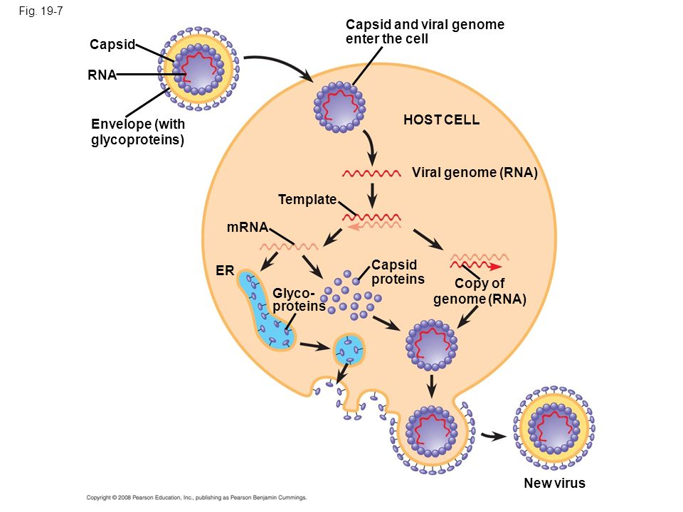 Capsid and viral genome enter the cell Capsid
