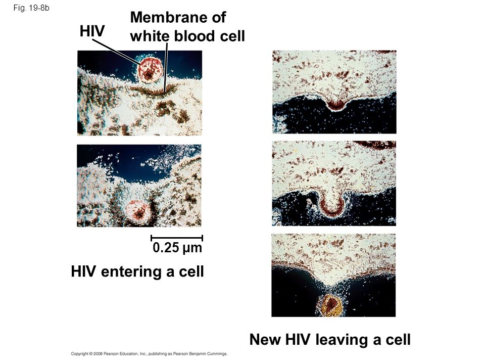 Membrane of white blood cell HIV HIV entering a cell