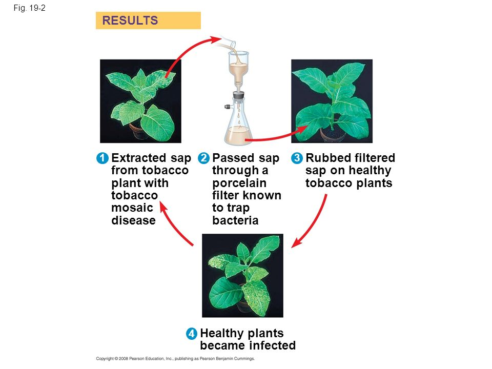 RESULTS Extracted sap from tobacco plant with tobacco mosaic disease