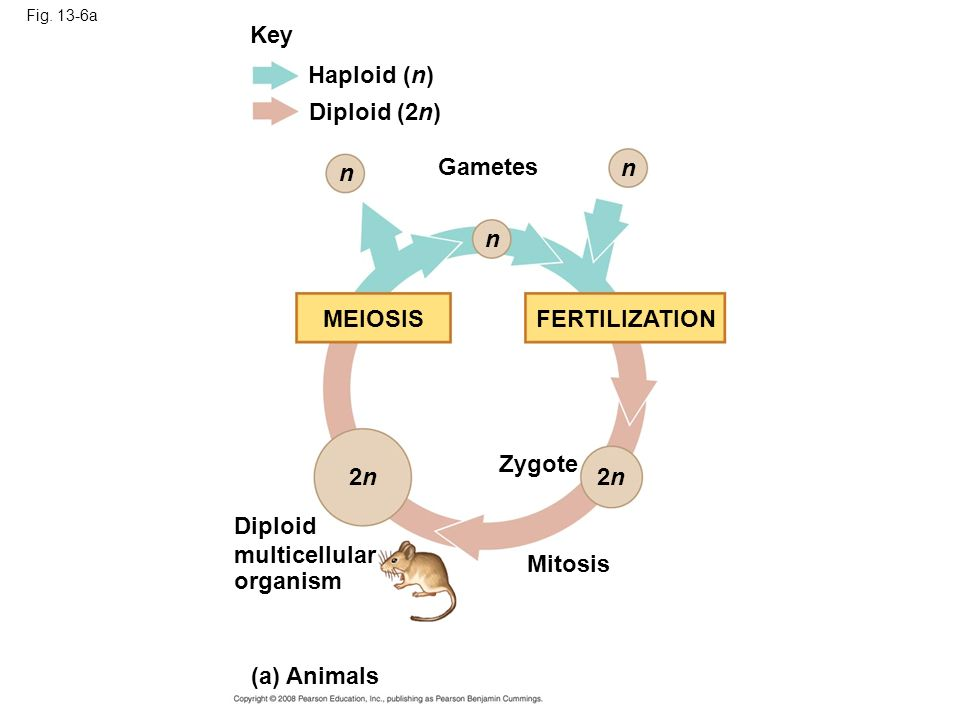 Key Haploid (n) Diploid (2n) Gametes n n n MEIOSIS FERTILIZATION
