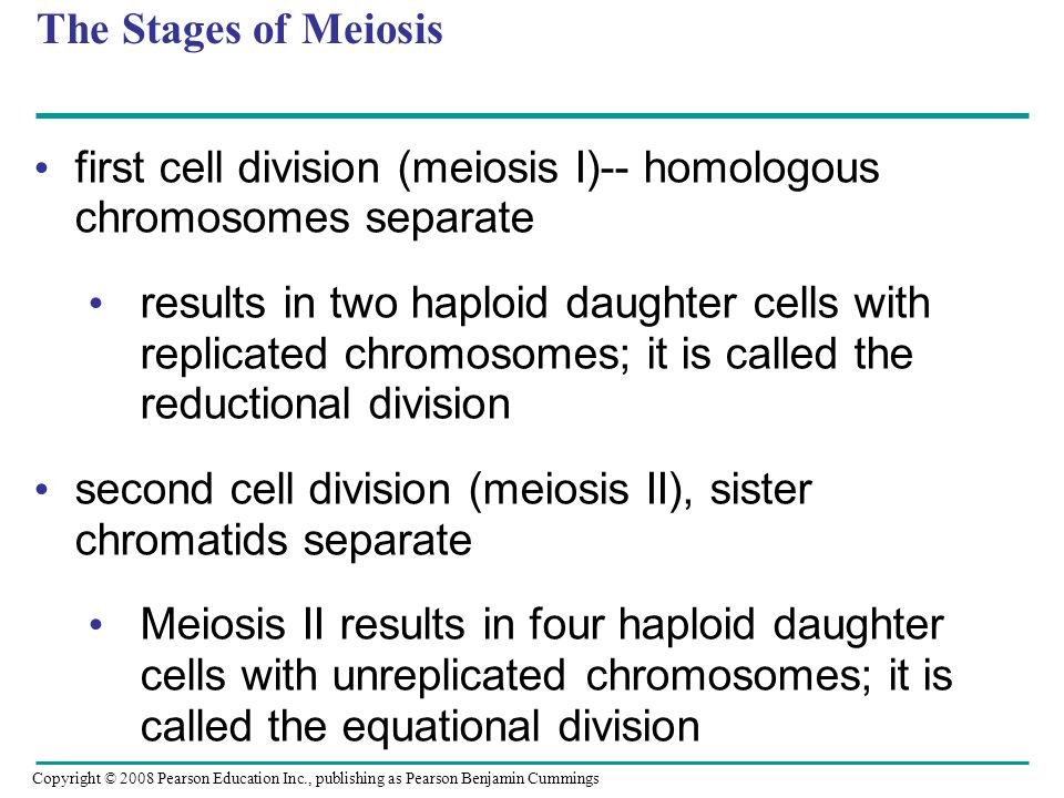 first cell division (meiosis I)-- homologous chromosomes separate