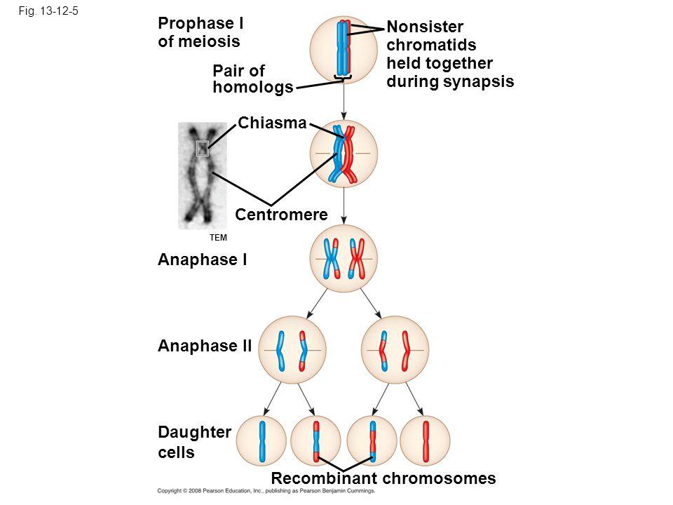 Recombinant chromosomes