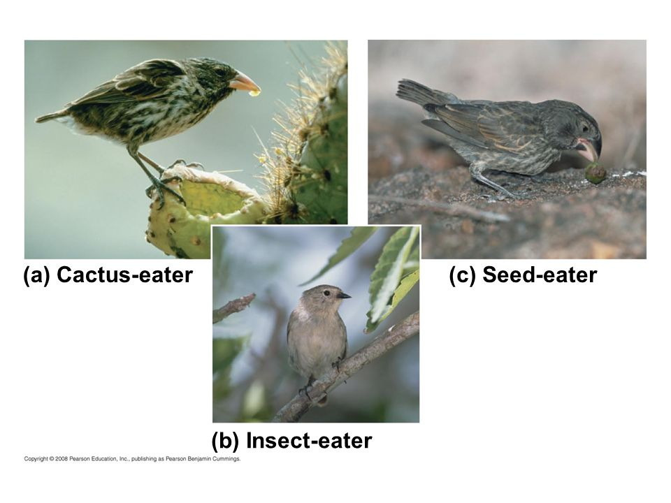 (a) Cactus-eater (c) Seed-eater (b) Insect-eater Fig. 22-6