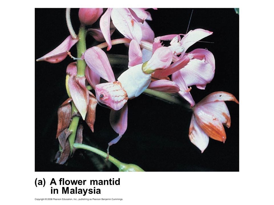 (a) A flower mantid in Malaysia Fig. 22-12a