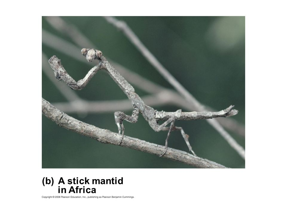 (b) A stick mantid in Africa Fig b