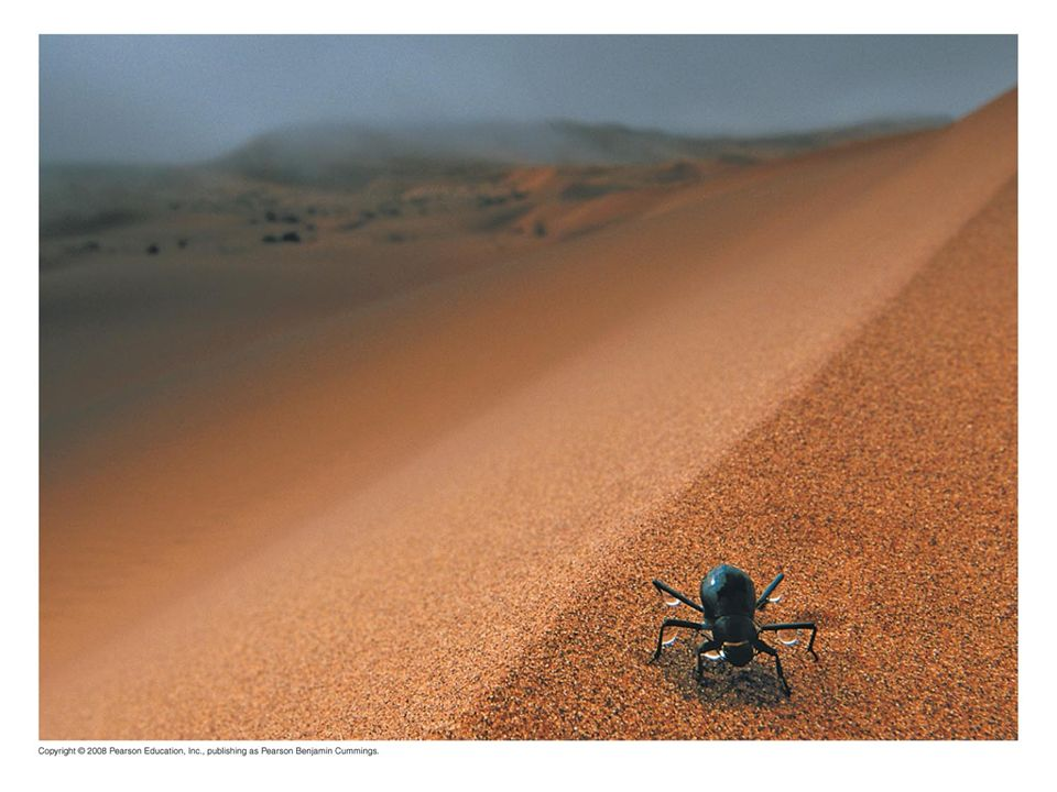 Fig Figure 22.1 How can this beetle survive in the desert, and what is it doing