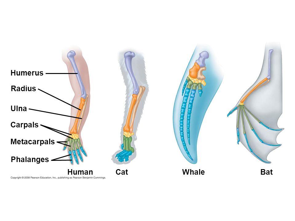 Humerus Radius Ulna Carpals Metacarpals Phalanges Human Cat Whale Bat