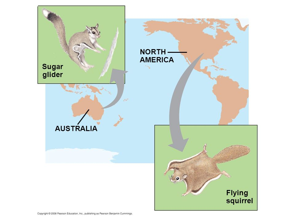 NORTH AMERICA Sugar glider AUSTRALIA Flying squirrel Fig