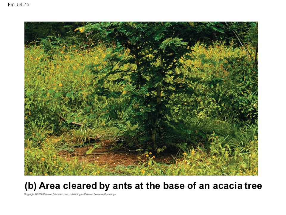 (b) Area cleared by ants at the base of an acacia tree