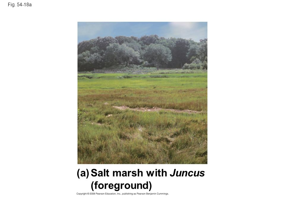 (a) Salt marsh with Juncus (foreground) Fig a