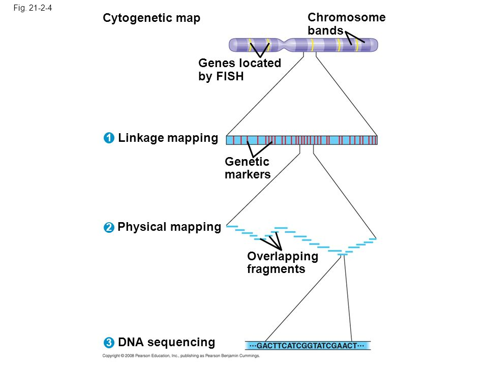 Cytogenetic map Chromosome bands Genes located by FISH Linkage mapping