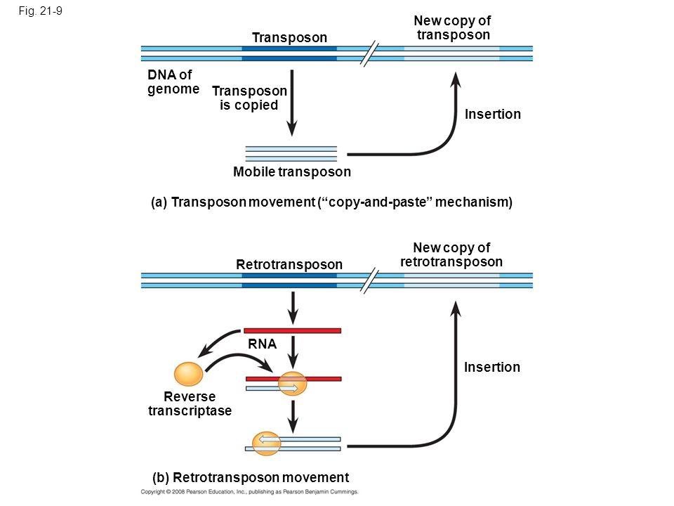 Transposon is copied New copy of retrotransposon Reverse transcriptase