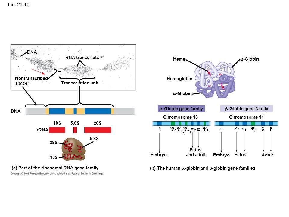 Fig. 21-10 Figure 21.10 Gene families DNA RNA transcripts Heme