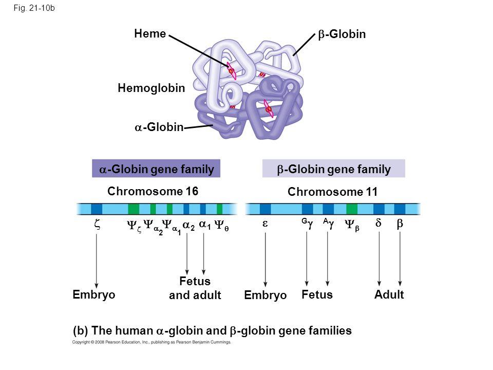 (b) The human -globin and -globin gene families