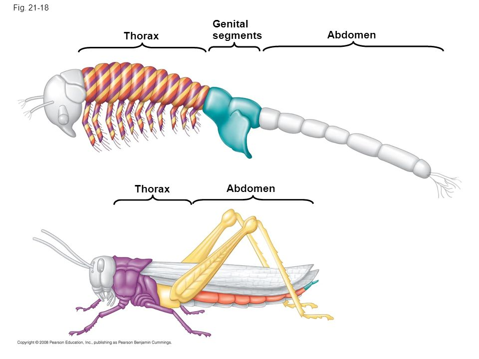 Genital segments Thorax Abdomen Thorax Abdomen Fig. 21-18