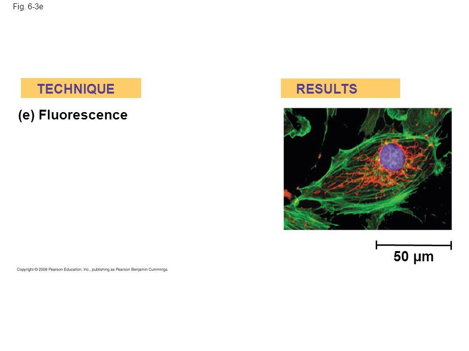 50 µm (e) Fluorescence TECHNIQUE RESULTS Fig. 6-3e
