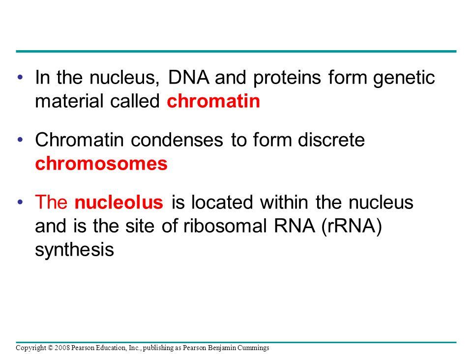 Chromatin condenses to form discrete chromosomes