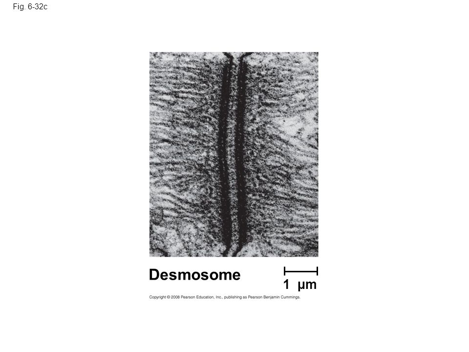 Fig. 6-32c Figure 6.32 Intercellular junctions in animal tissues—desmosomes junctions.