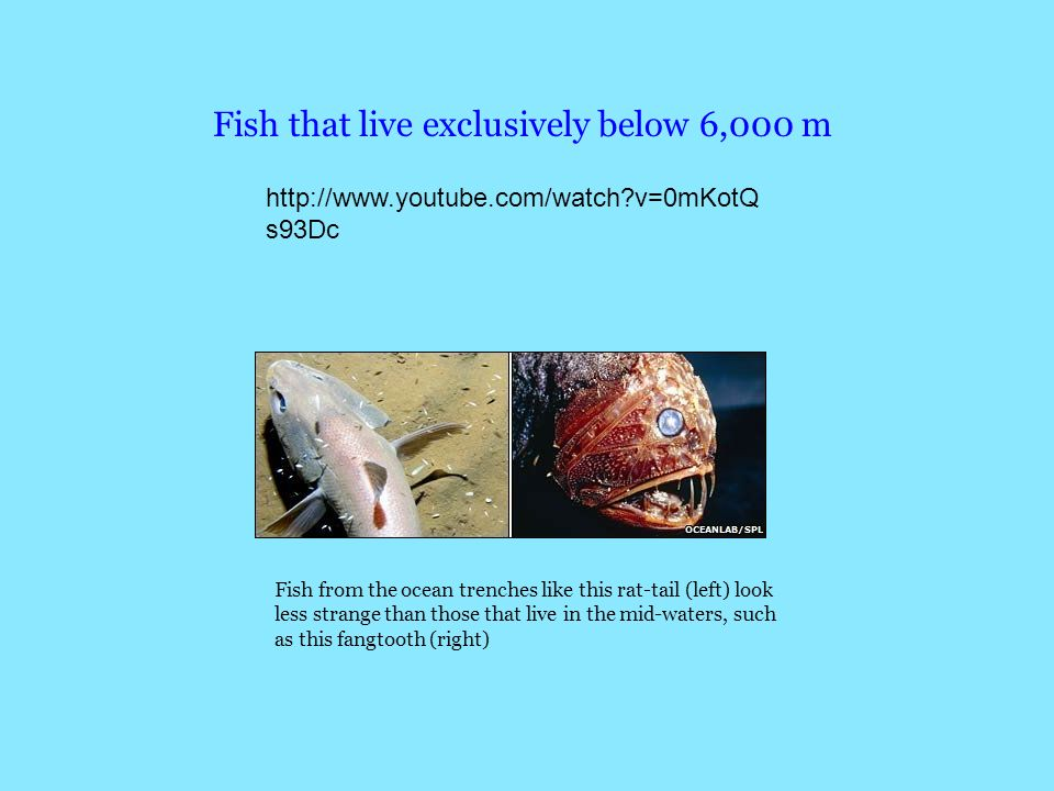 Fish that live exclusively below 6,000 m