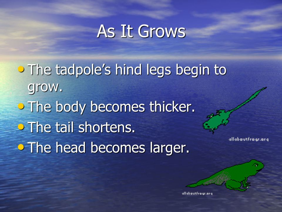 As It Grows The tadpole's hind legs begin to grow.