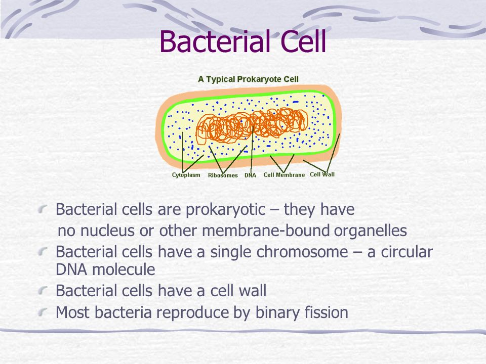 Bacterial Cell Bacterial cells are prokaryotic – they have