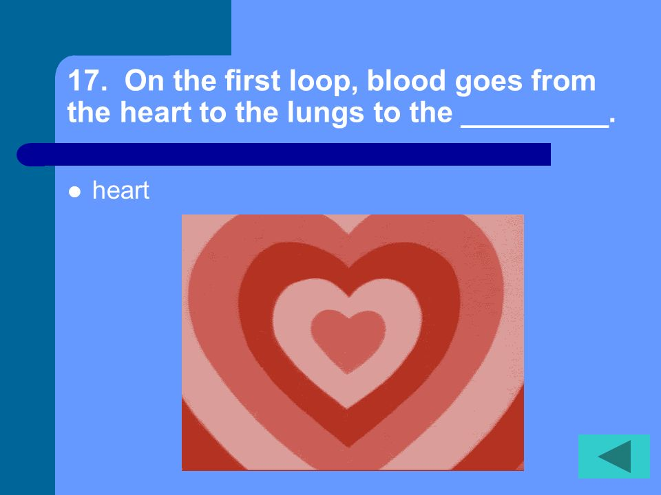 17. On the first loop, blood goes from the heart to the lungs to the _________.