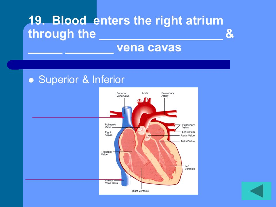 19. Blood enters the right atrium through the __________________ & _____ _______ vena cavas