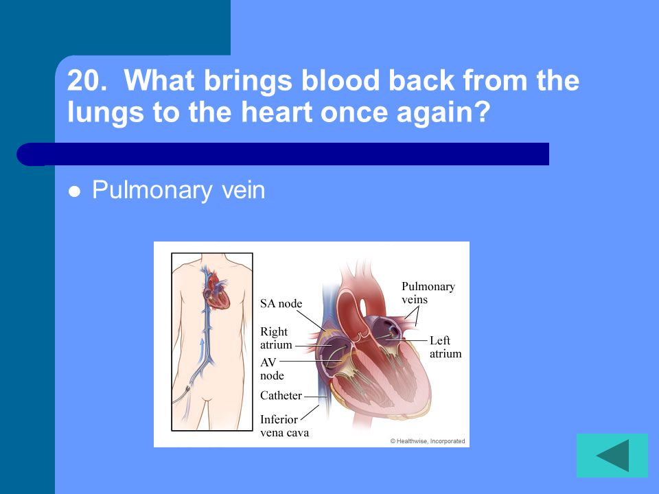 20. What brings blood back from the lungs to the heart once again
