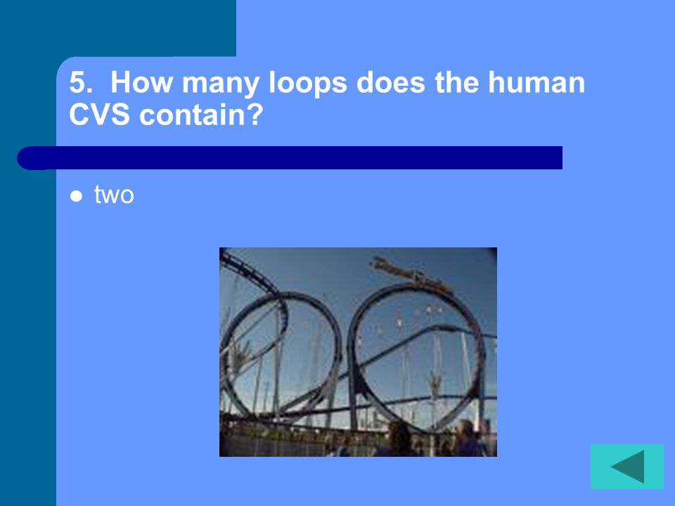 5. How many loops does the human CVS contain