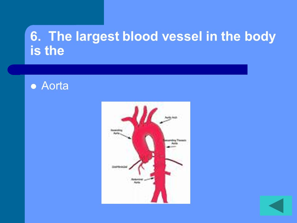 6. The largest blood vessel in the body is the