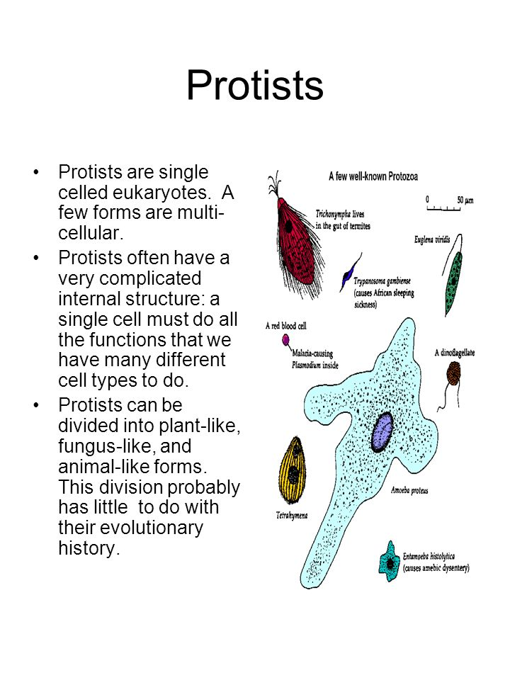 Protists Protists are single celled eukaryotes. A few forms are multi-cellular.